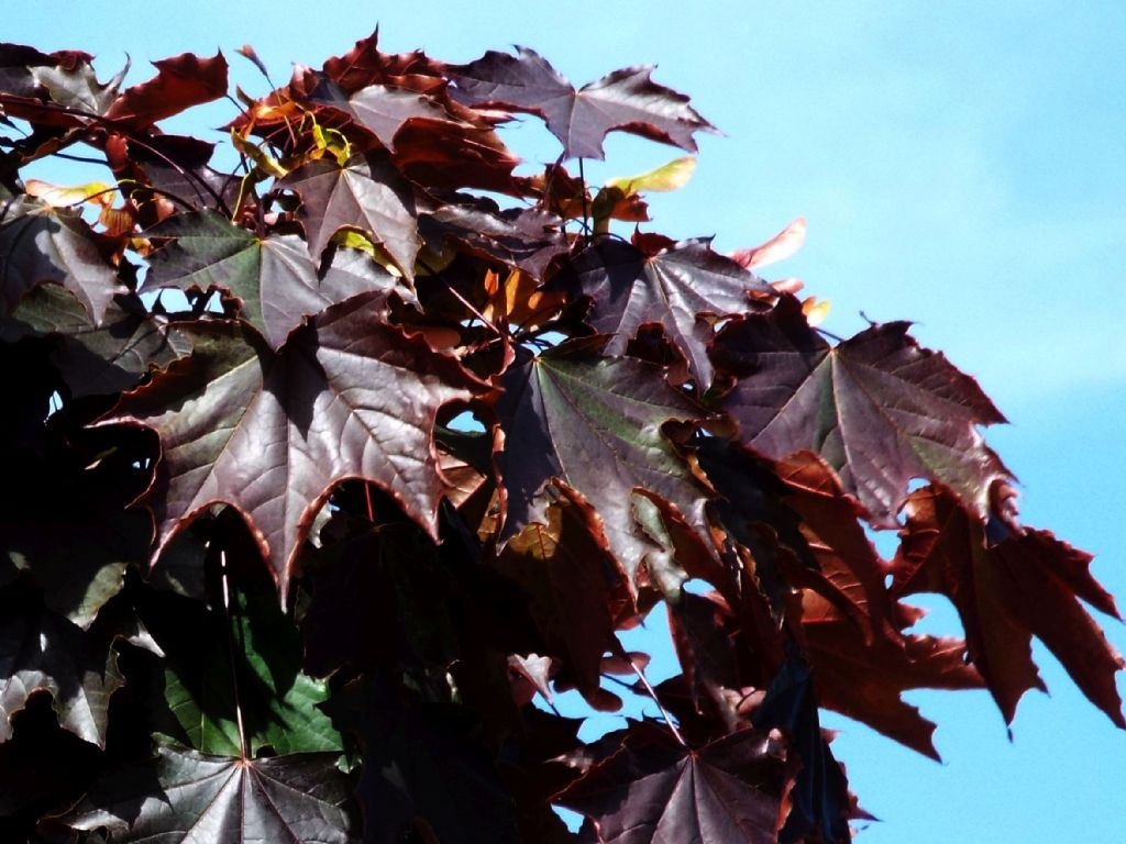 Acero rosso quale specie cultivar di acer platanoides for Acero rosso milano