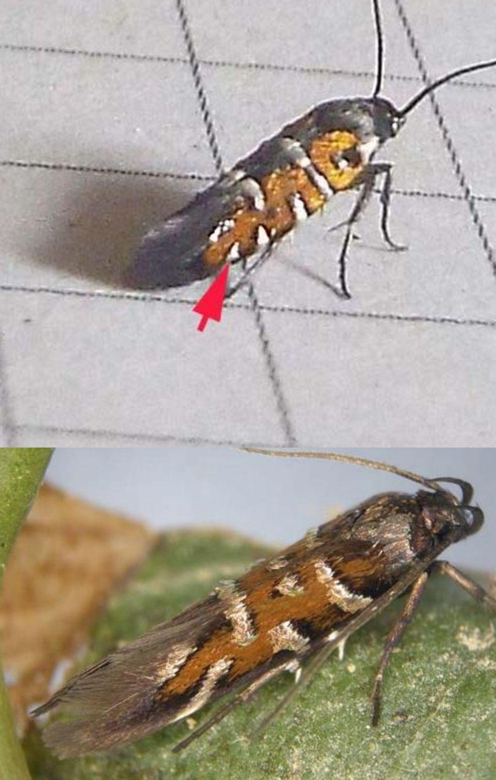 Bell''ospite inattesa: Pancalia sp. (Cosmopterigidae)