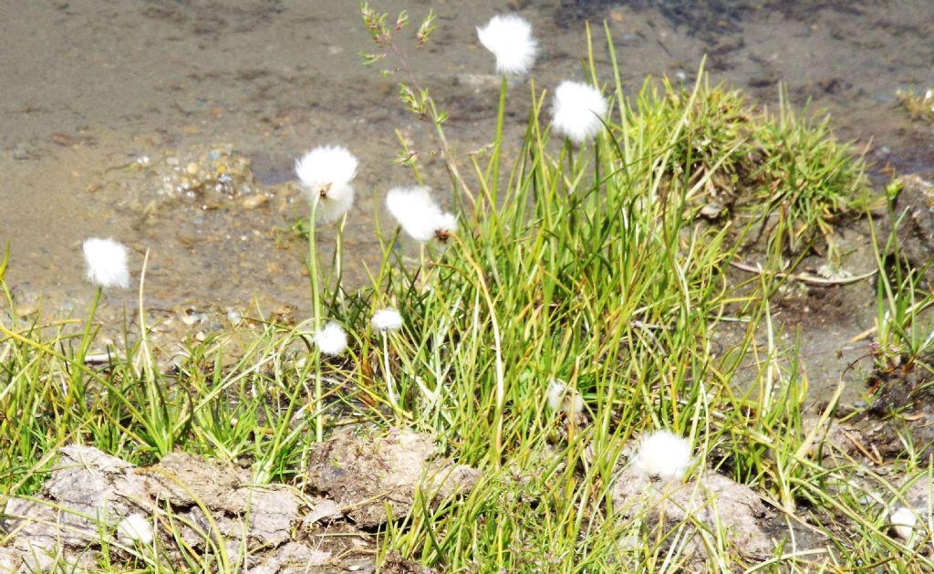 Cotone artico / Eriophorum sp. (E. vaginatum opp. E. scheuchzeri), Cyperaceae