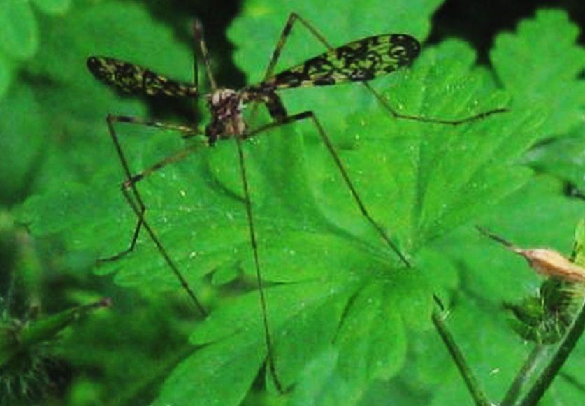 Limoniidae: cfr. Epiphragma ocellare