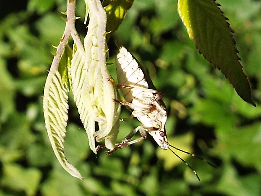 Pentatomidae: Halyomorpha halys ? Sì !