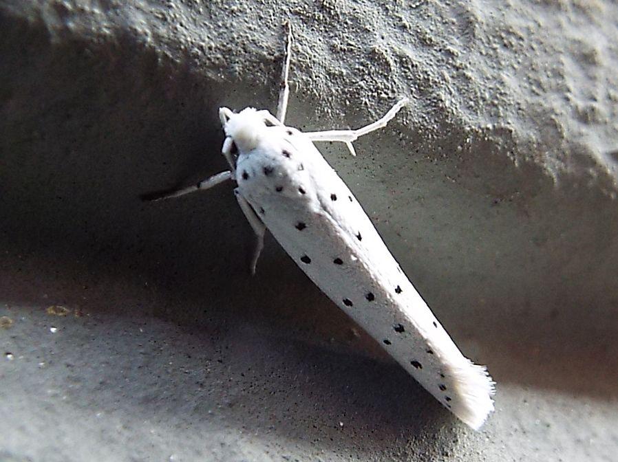 Yponomeutidae: Yponomeuta cfr. cagnagella