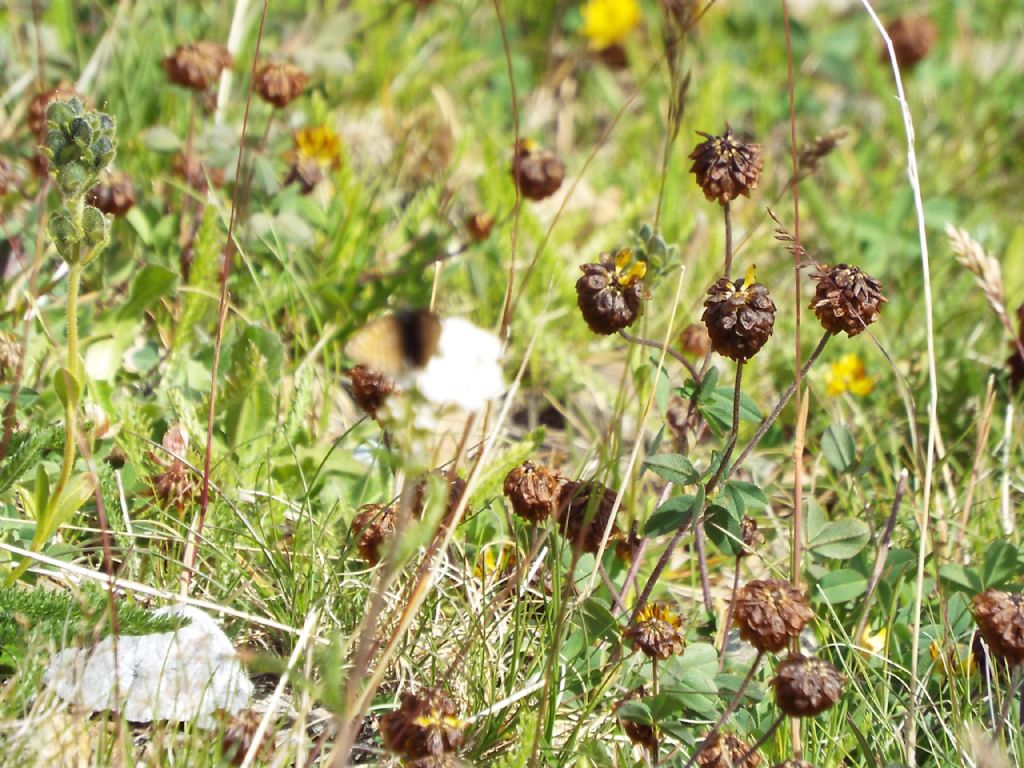 Trifolium badium (Fabaceae)