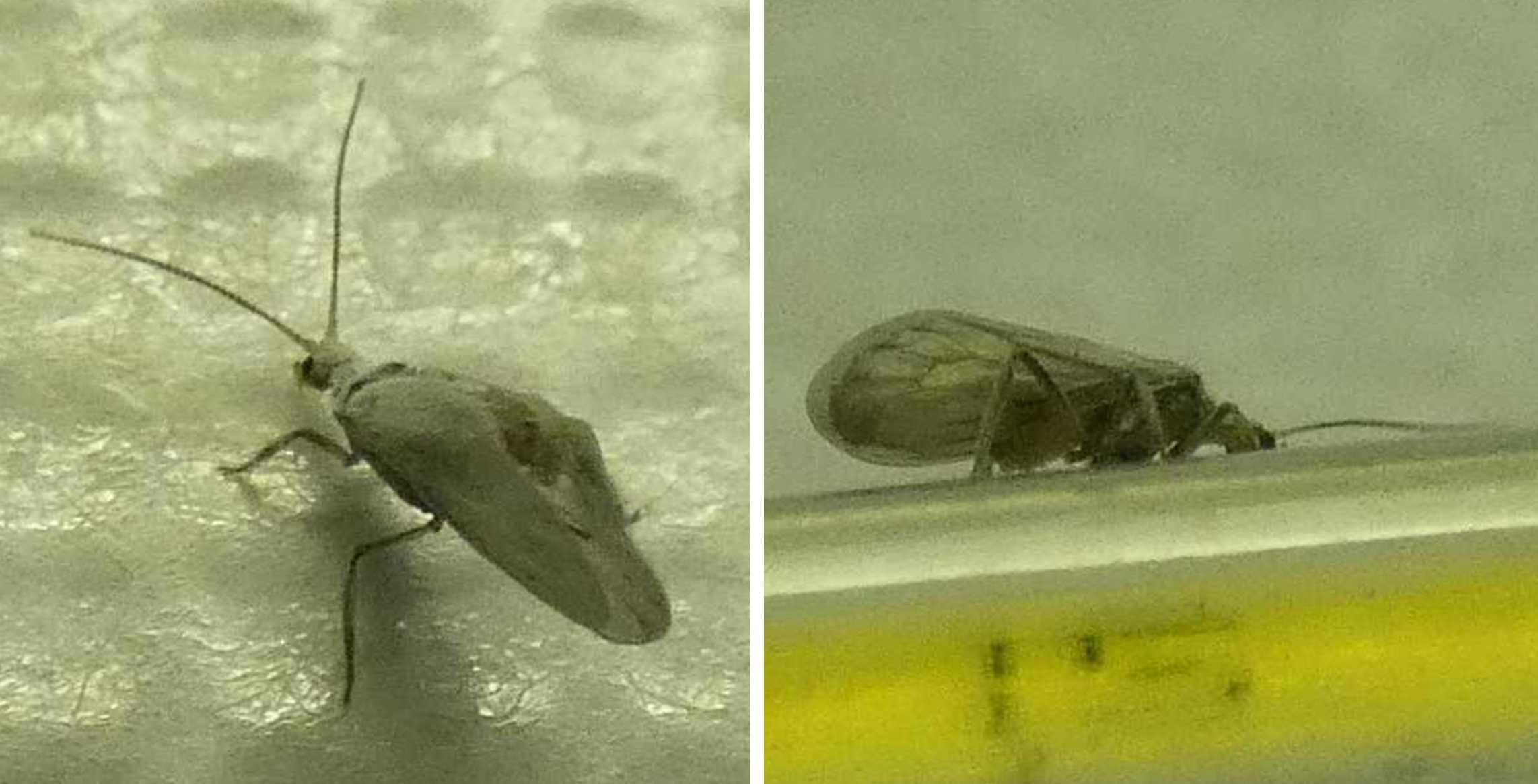 Conwentzia sp. (Coniopterygidae)