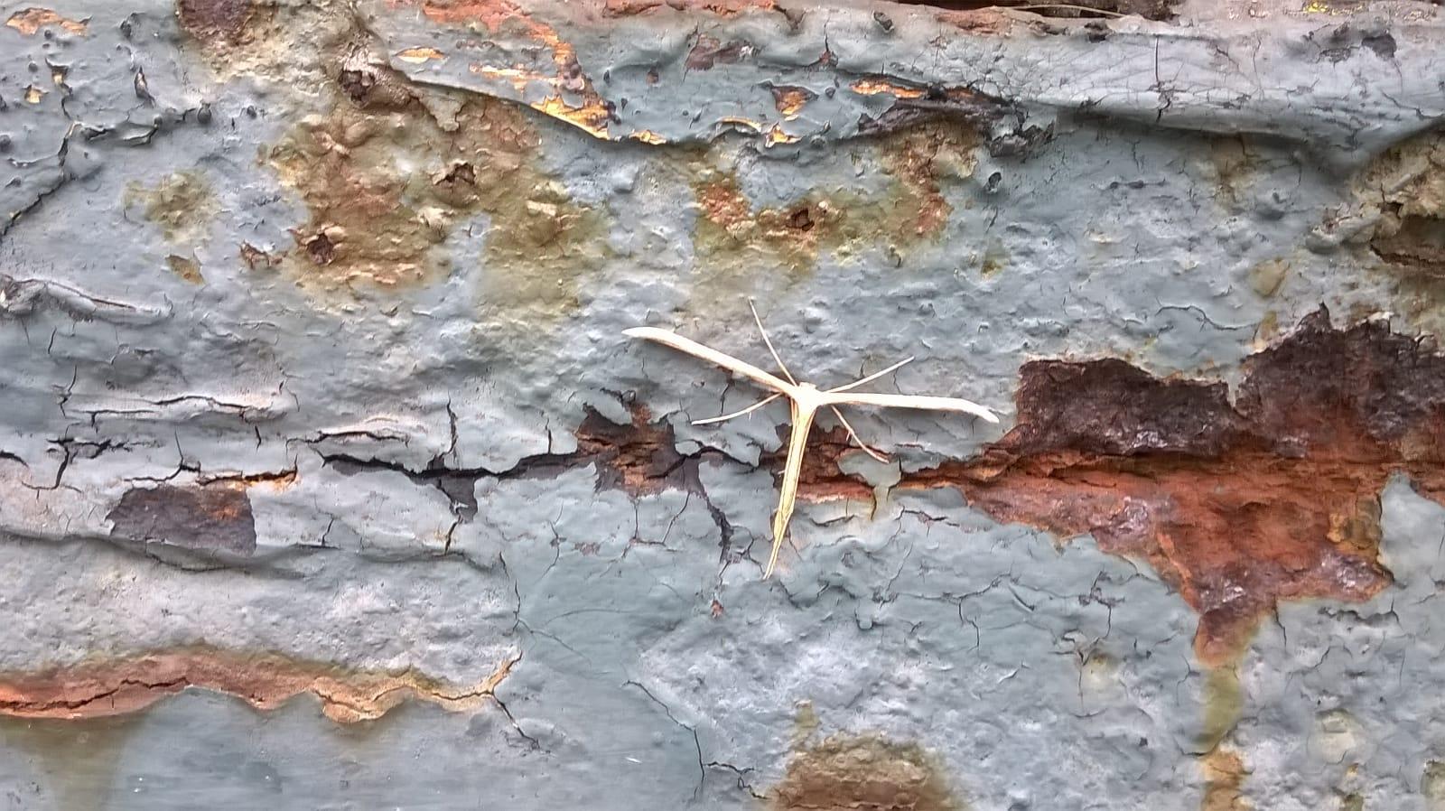 Pterophoridae da id.:  Emmelina monodactyla