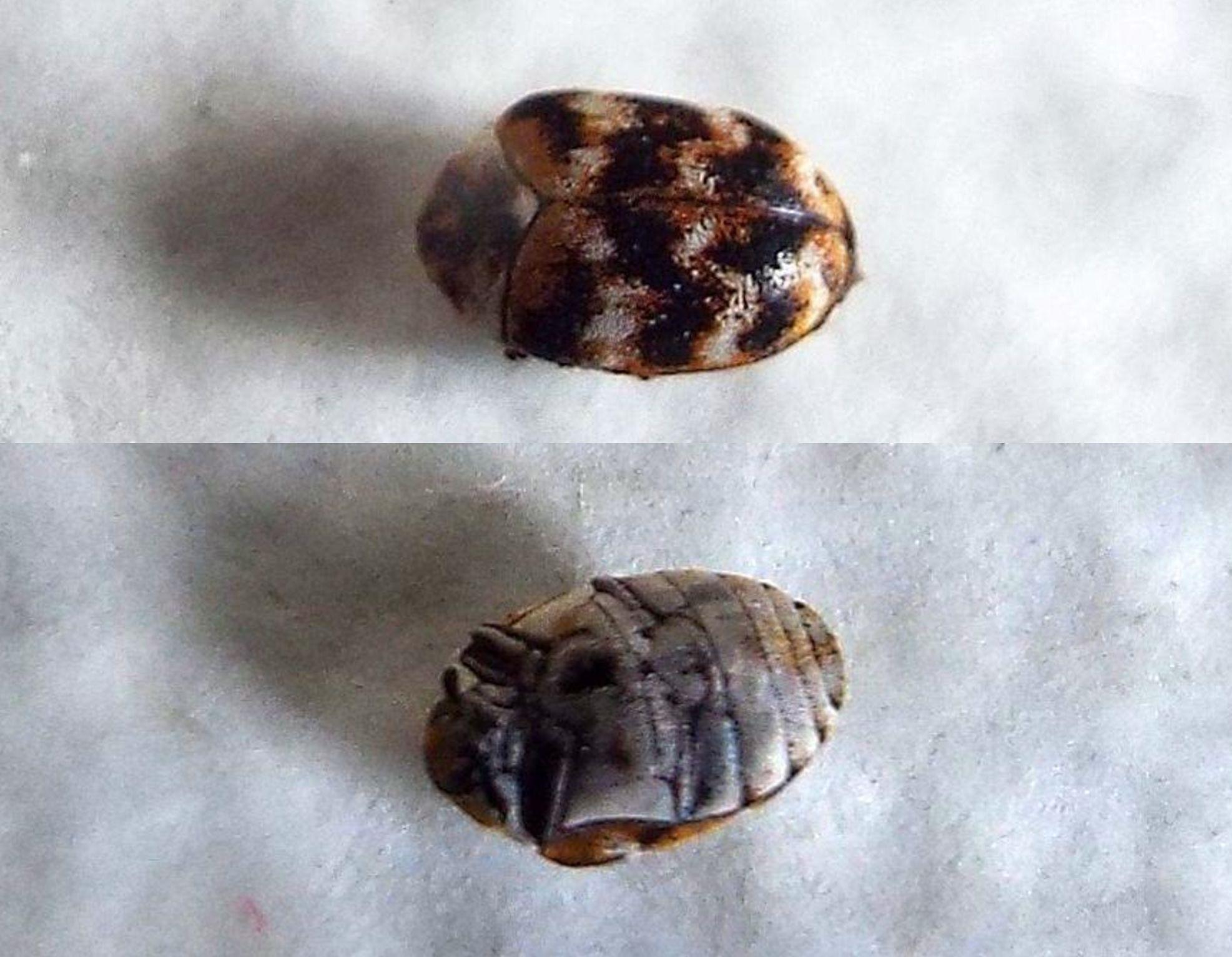 E'' un Anthrenus...? Sì (Dermestidae).