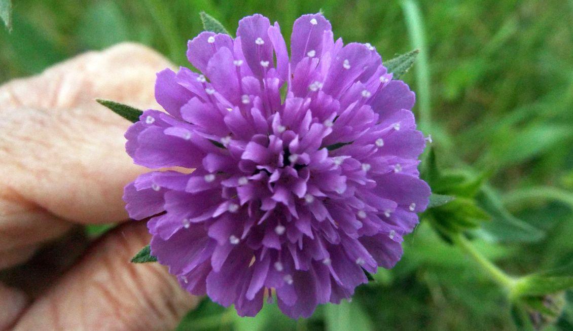 Un''altra Knautia?  Sì, ancora Knautia cfr. drymeia (Caprifoliaceae)