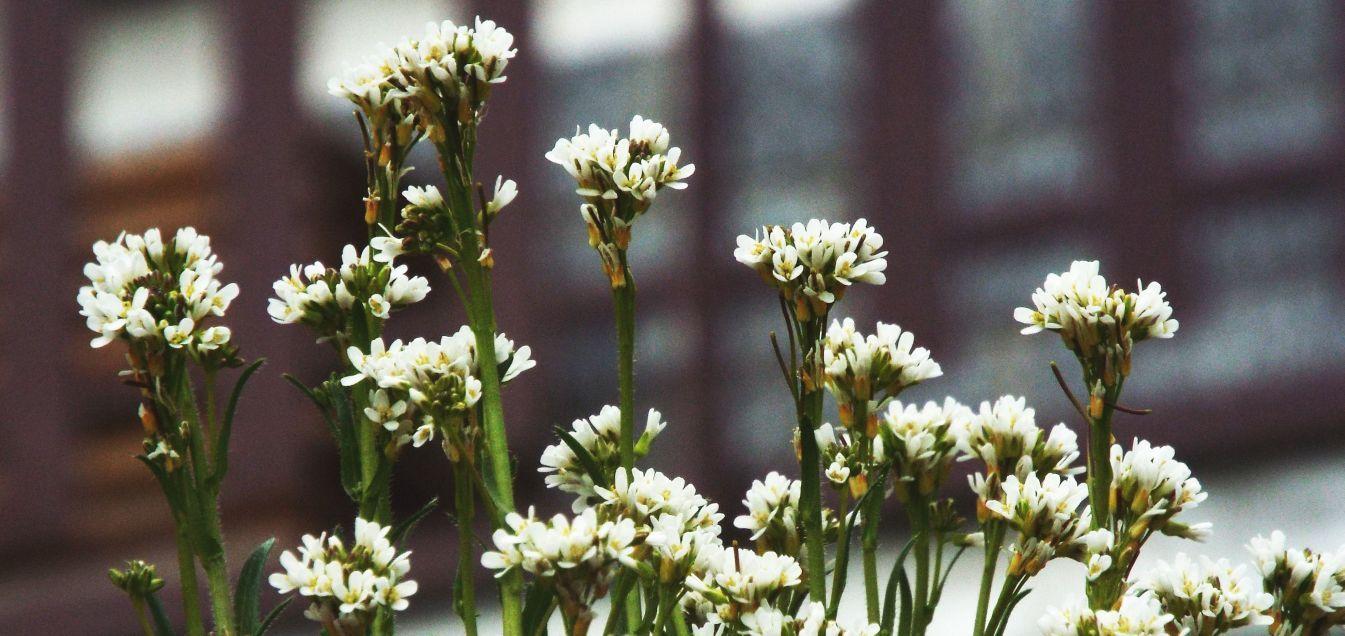 Arabis hirsuta (Brassicaceae)