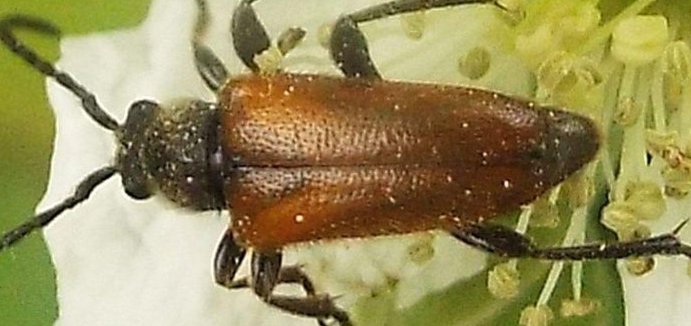 Cerambycidae:  Paracorymbia fulva
