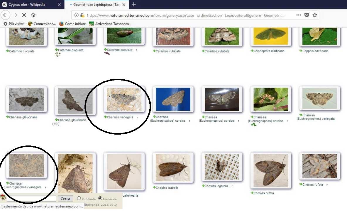 Carabidae: Pterostichus melanarius