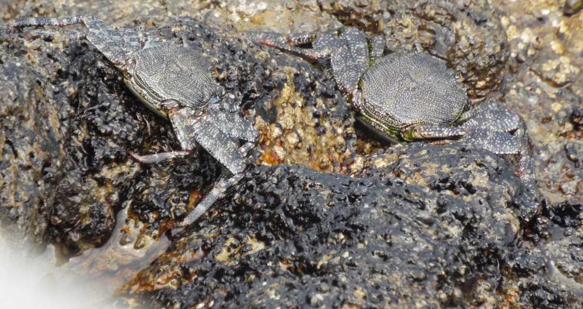 Da Tenerife (Canarie):  Grossi granchi: Grapsus adscensionis