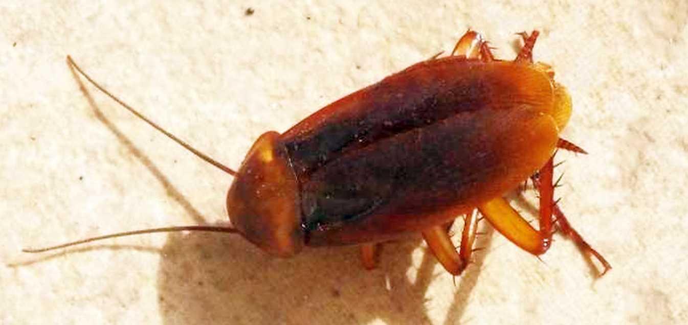 Da Tenerife (Canarie):  Blatta da id.: Periplaneta americana (Blattidae)
