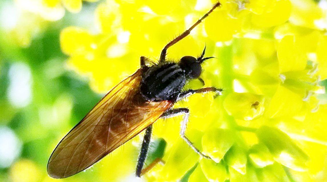 Empis sp. (Empididae)