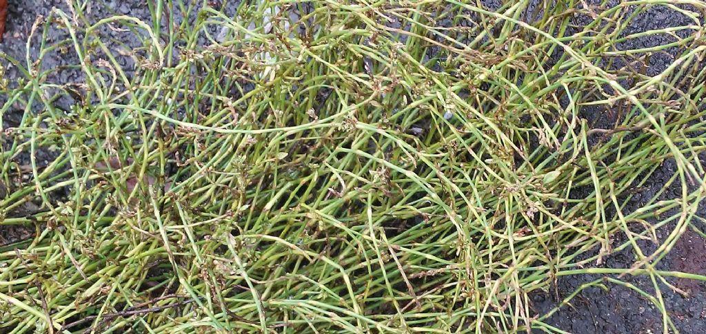 Erbacea milanese: Polygonum aviculare
