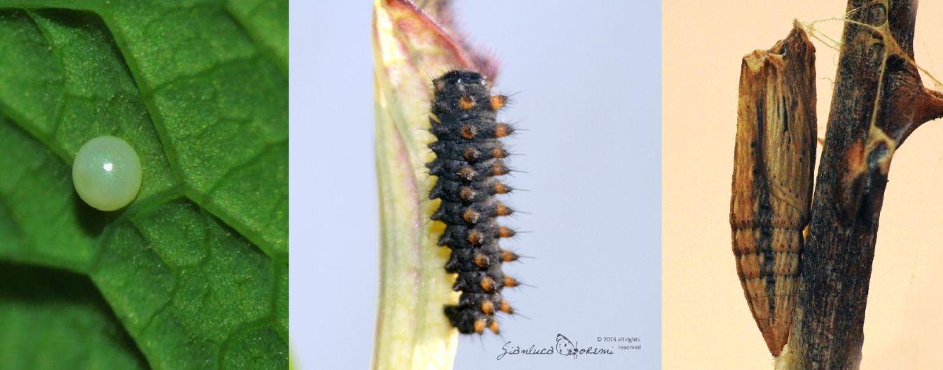 Zerynthia  polyxena - ciclo vitale
