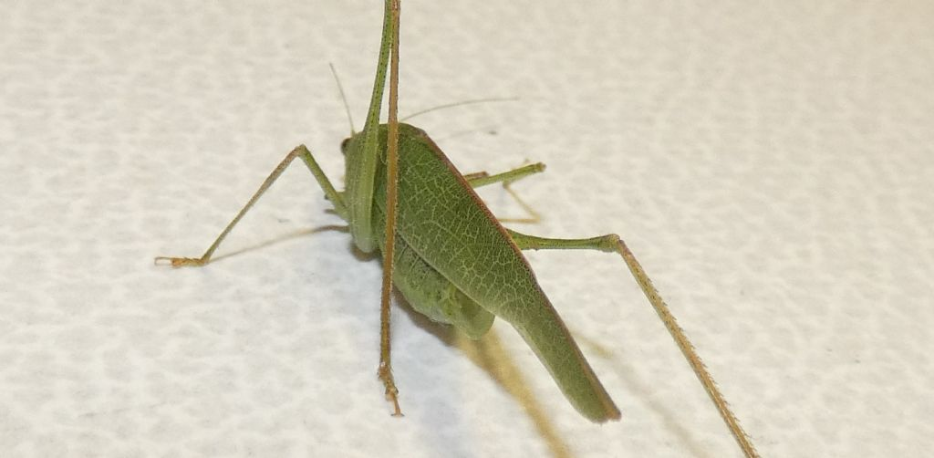 Phaneroptera nana