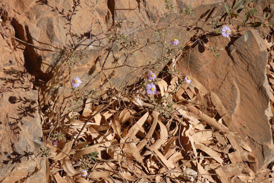 Asteracea dall''Australia (NT): Olearia stuartii