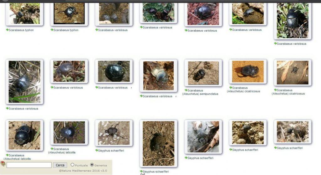 Scarabaeidae: Scarabaeus variolosus e opportunità dei sottogeneri
