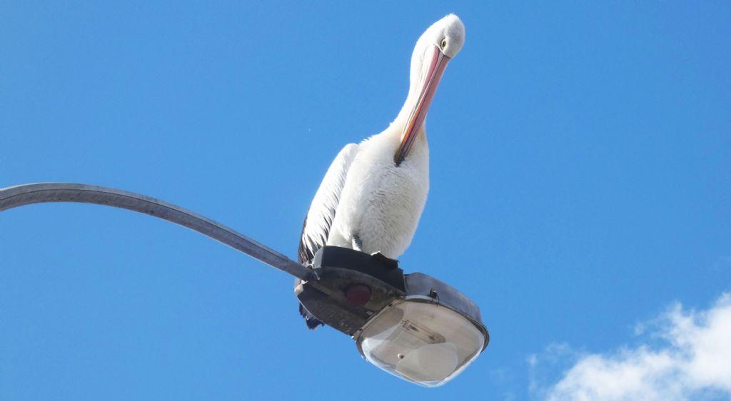 Dall''Australia (WA): il Pellicano dà spettacolo.