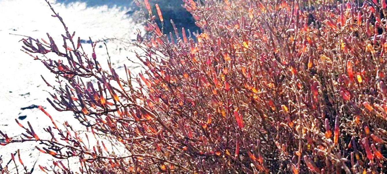 Succulenta salmastra: Arthrocaulon macrostachyum / Salicornia glauca (Chenopodiaceae)