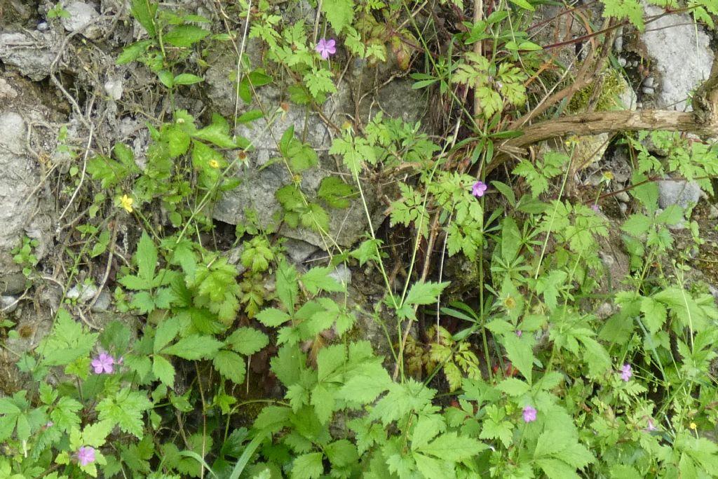 Erodium...? No!  Geranium robertianum