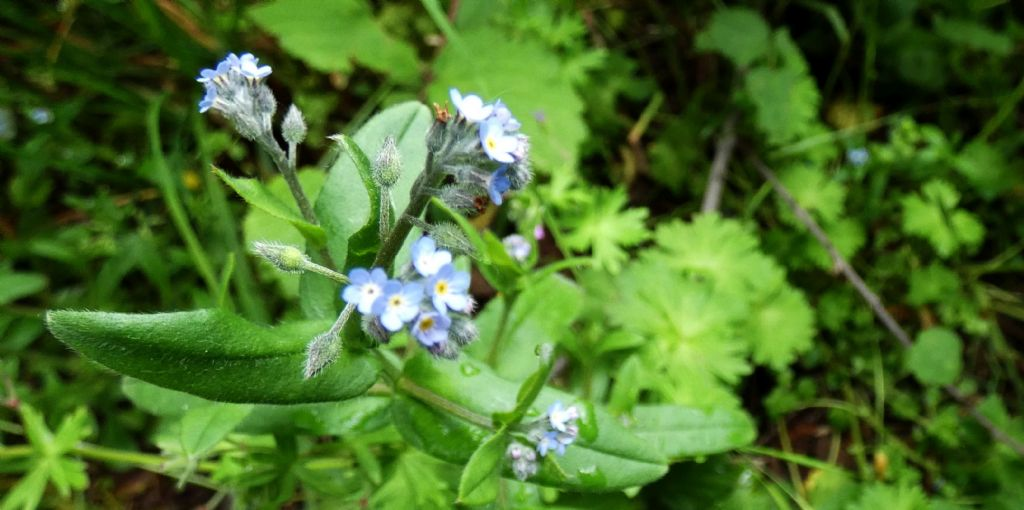 Myosotis sp. (Boraginaceae)