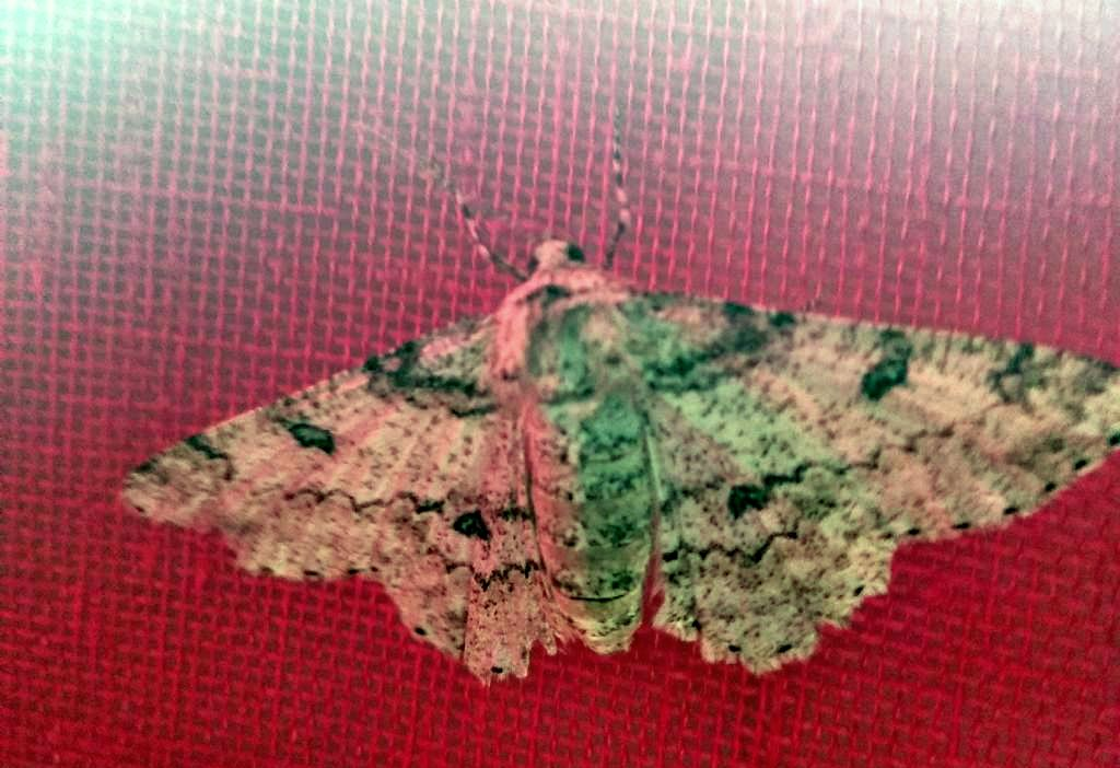 Ascotis selenaria, femmina - Geometridae