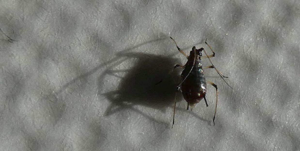 Aphididae da id (su Sonchus):  Uroleucon sp.