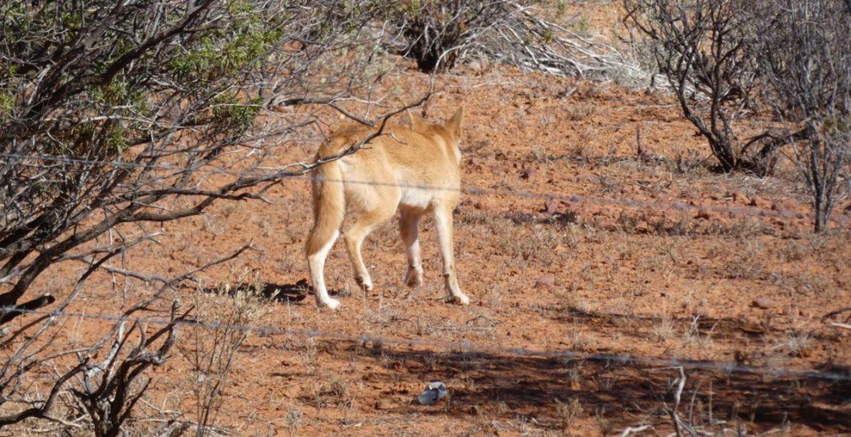 Incontro ravvicinato col Dingo (Australia - Territori del Nord)