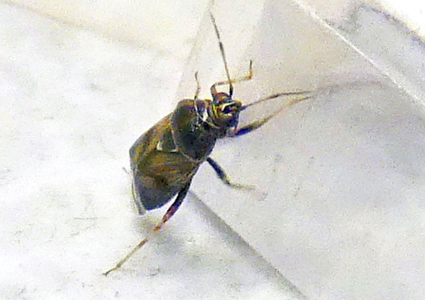 Miridae:  Deraeocoris (Camptobrochis) serenus