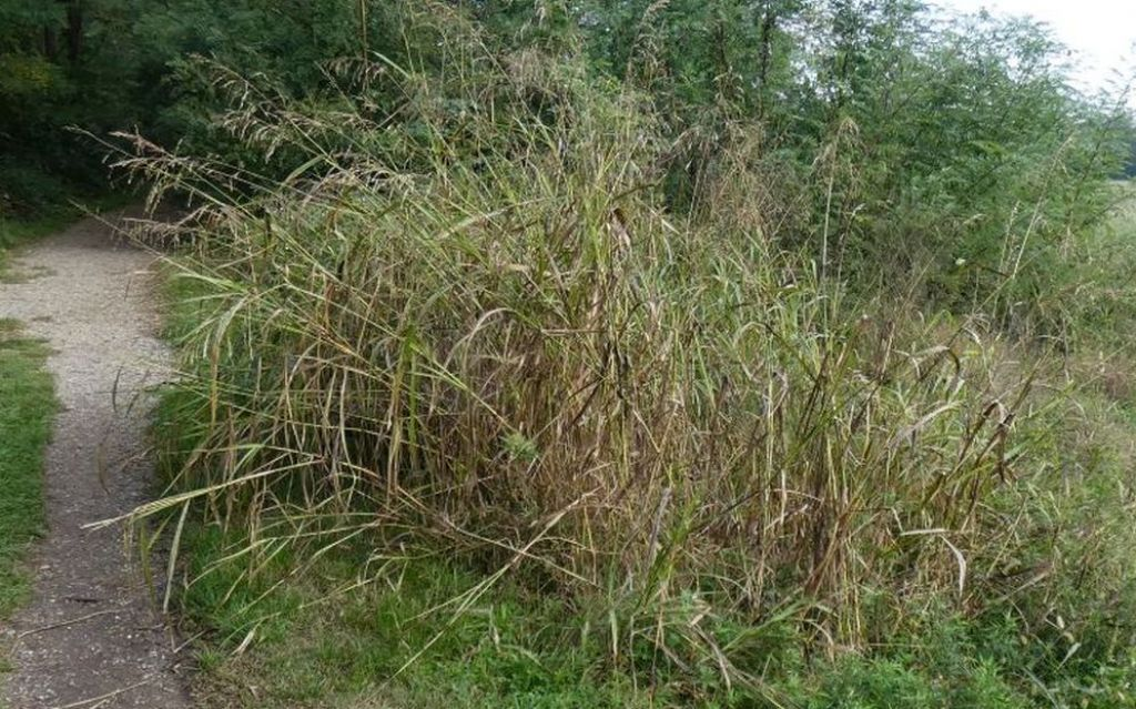 Poaceae: Sorghum halepense