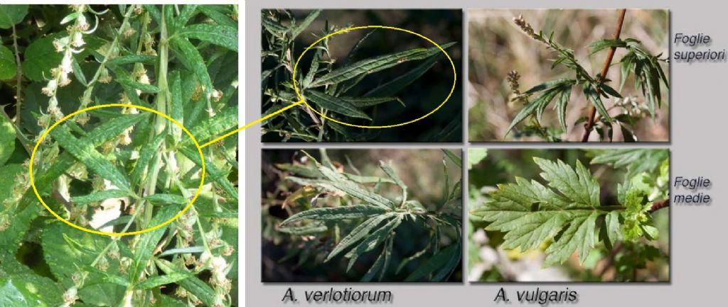 Artemisia verlotiorum (Asteraceae)