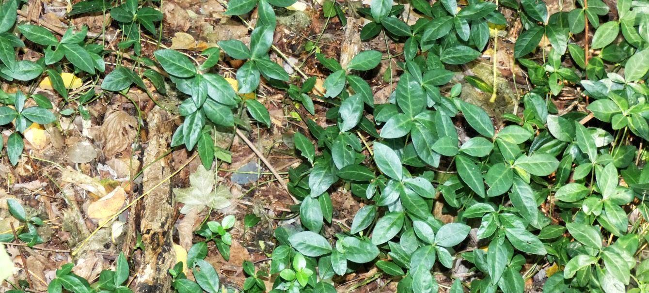 Nel sottobosco: Vinca minor (Apocynaceae)