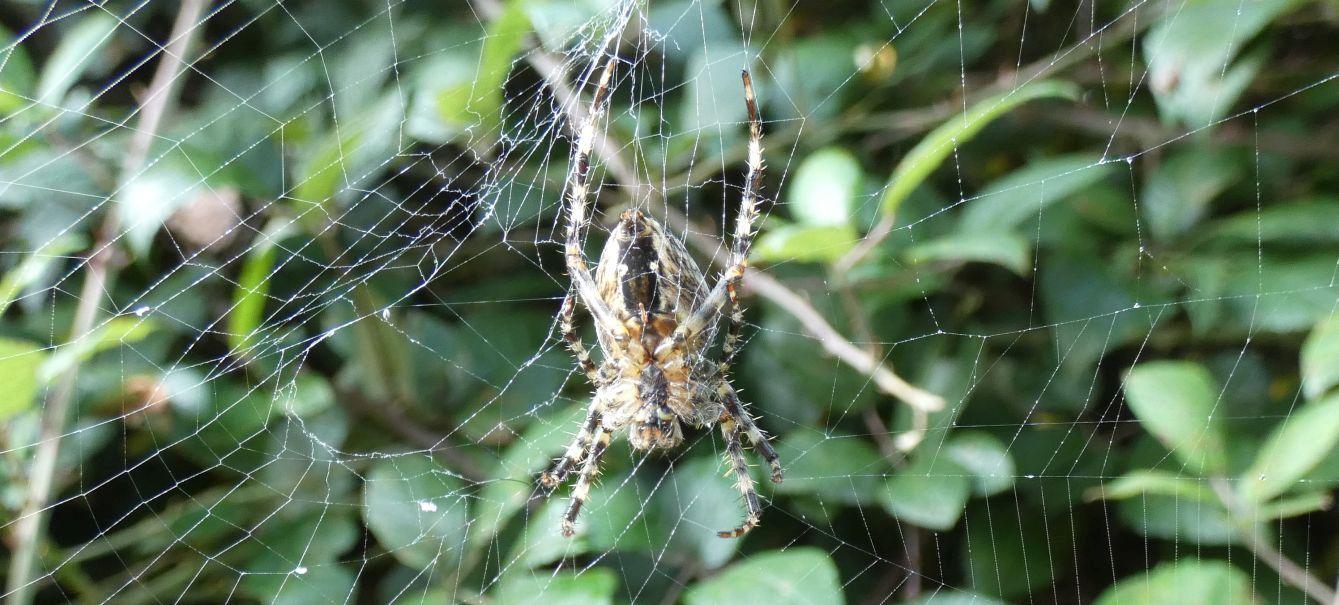 Araneus sp.? Sì, Araneus diadematus, femmina