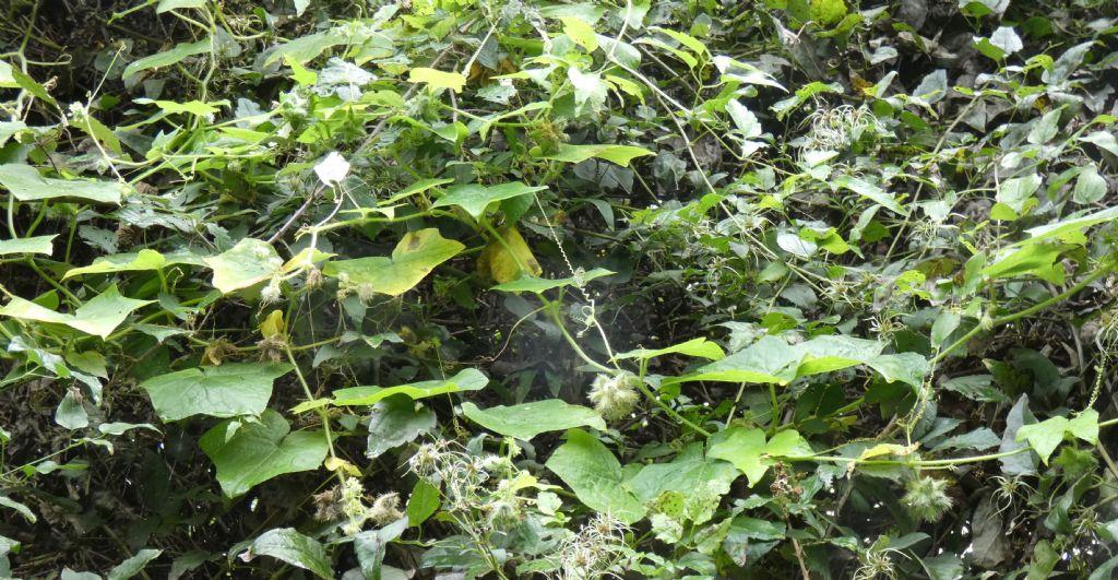 Cucurbitacea ?  Sì, Sicyos angulatus