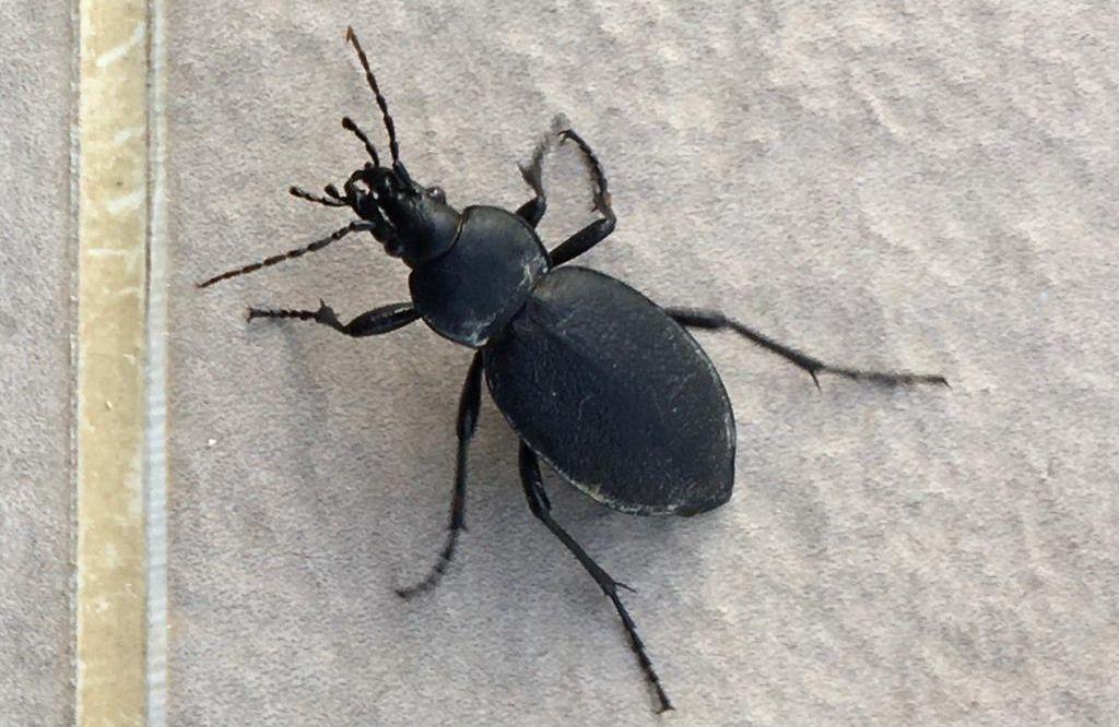 Carabidae: Carabus coriaceus