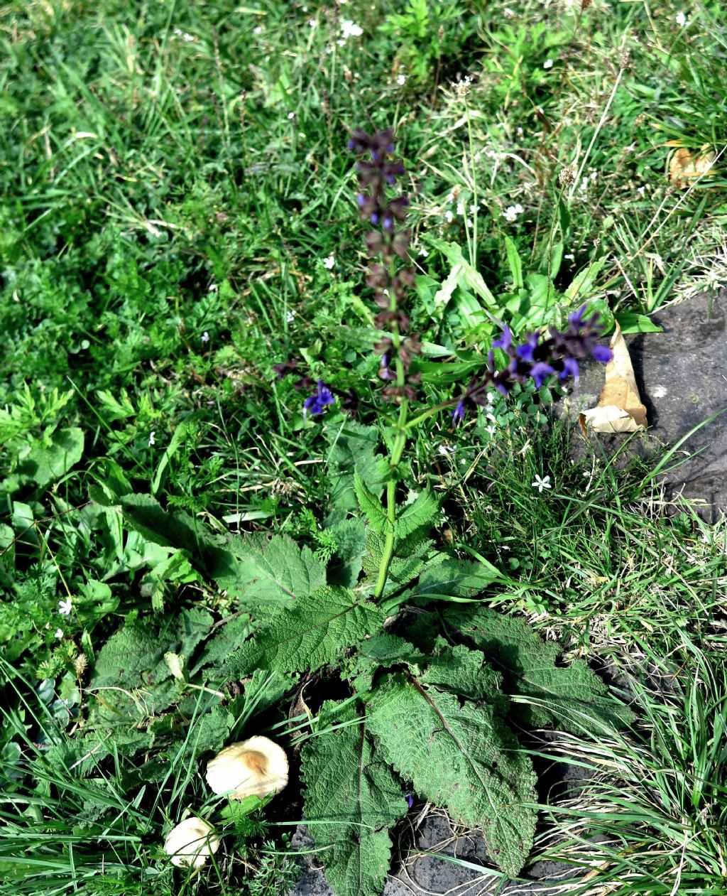 Lamiaceae: Salvia cfr. pratensis