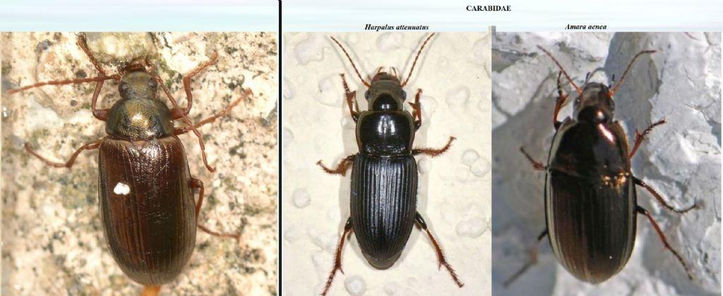 Tenebrionidae: Gonodera luperus