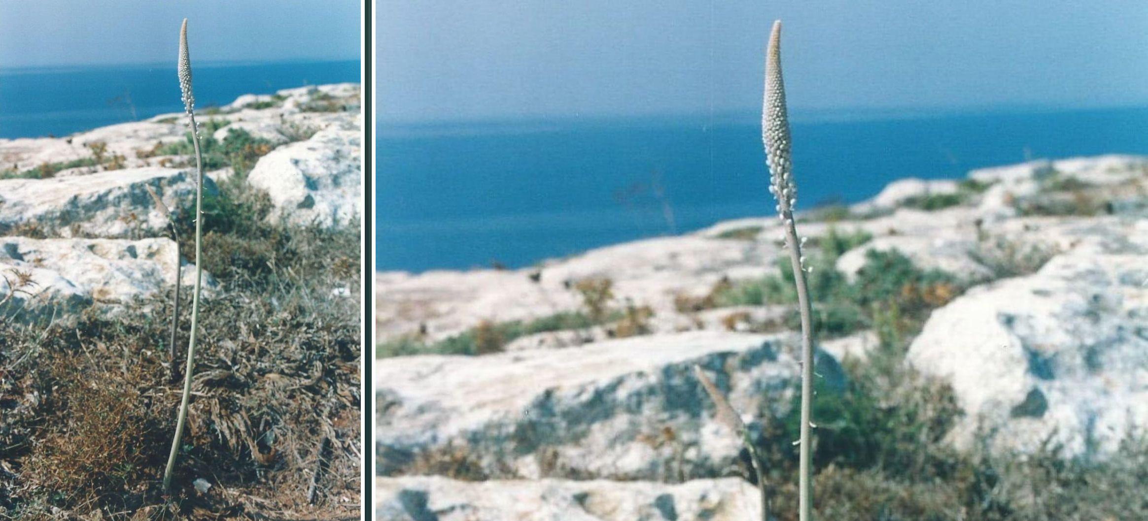Charybdis sp. (Asparagaceae)