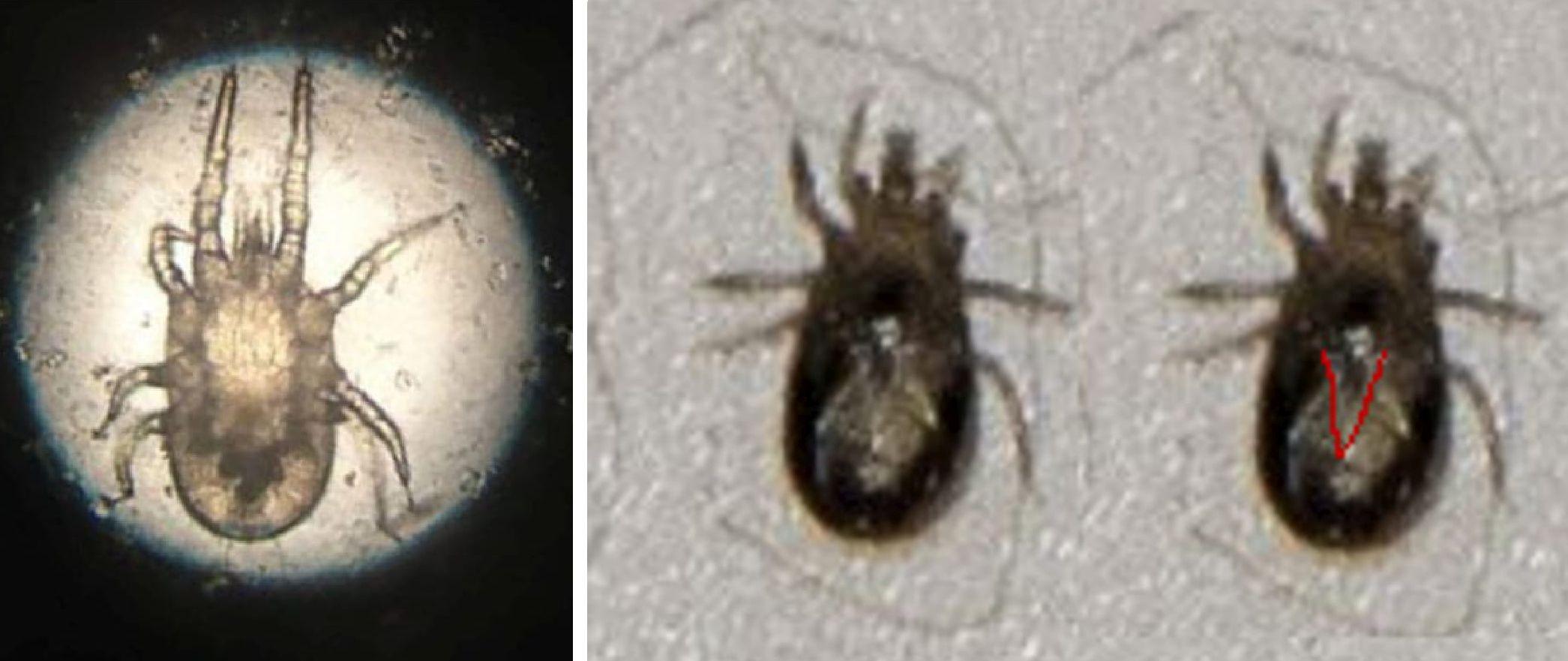 Mesostigmata Macronyssidae: Dermanyssus gallinae