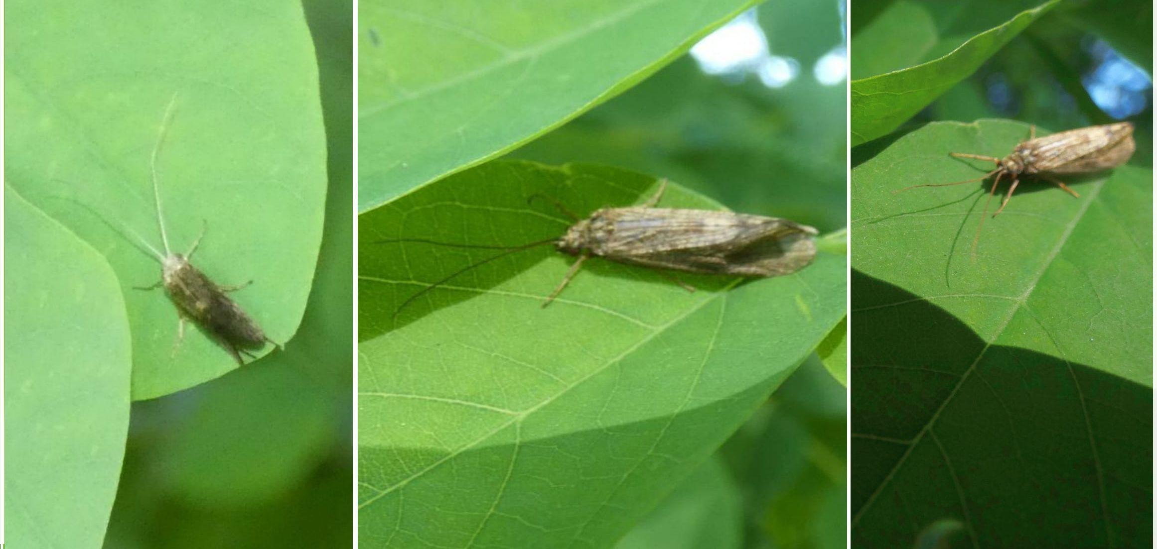 Hydropsychidae: Hydropsyche sp.