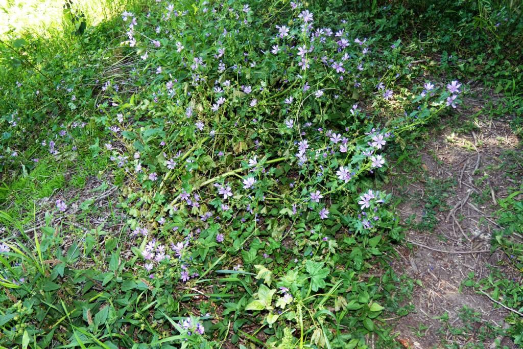 Malva sylvestris (Malvaceae)
