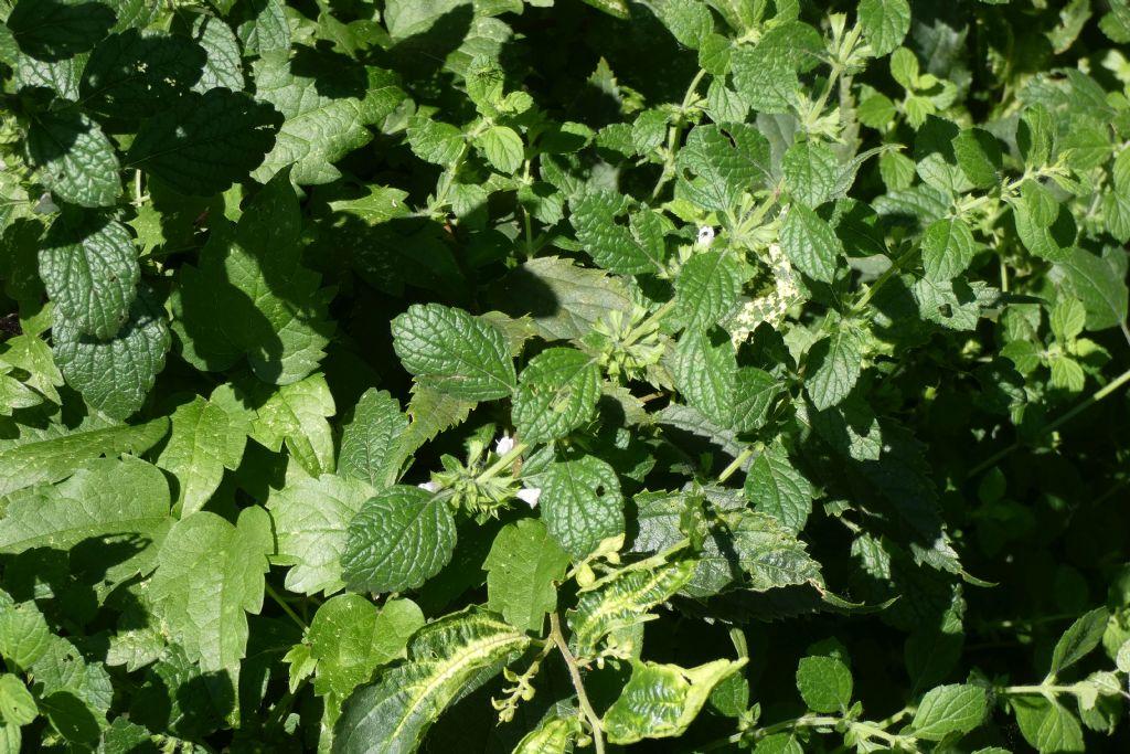 Ballota nigra (Lamiaceae)