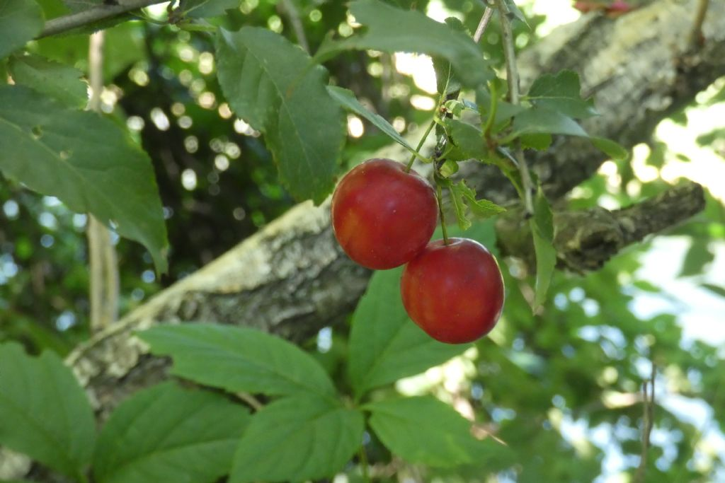 Frutti/Bacche di....?... Prunus sp. (Rosaceae)