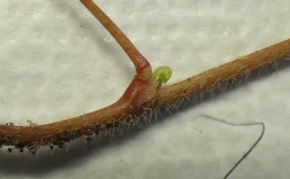 Oxalis con fiori cleistogami: Oxalis corniculata