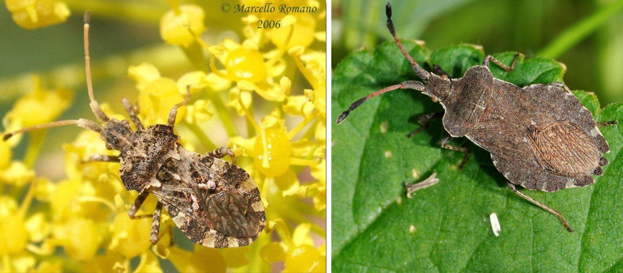 Coreidae: Enoplops scapha? No, Centrocoris variegatus