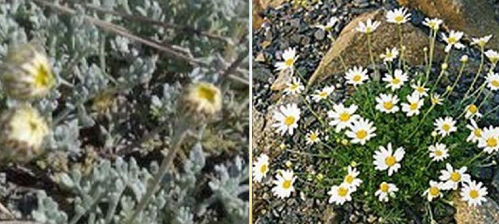 Anthemis cretica (Asteraceae)