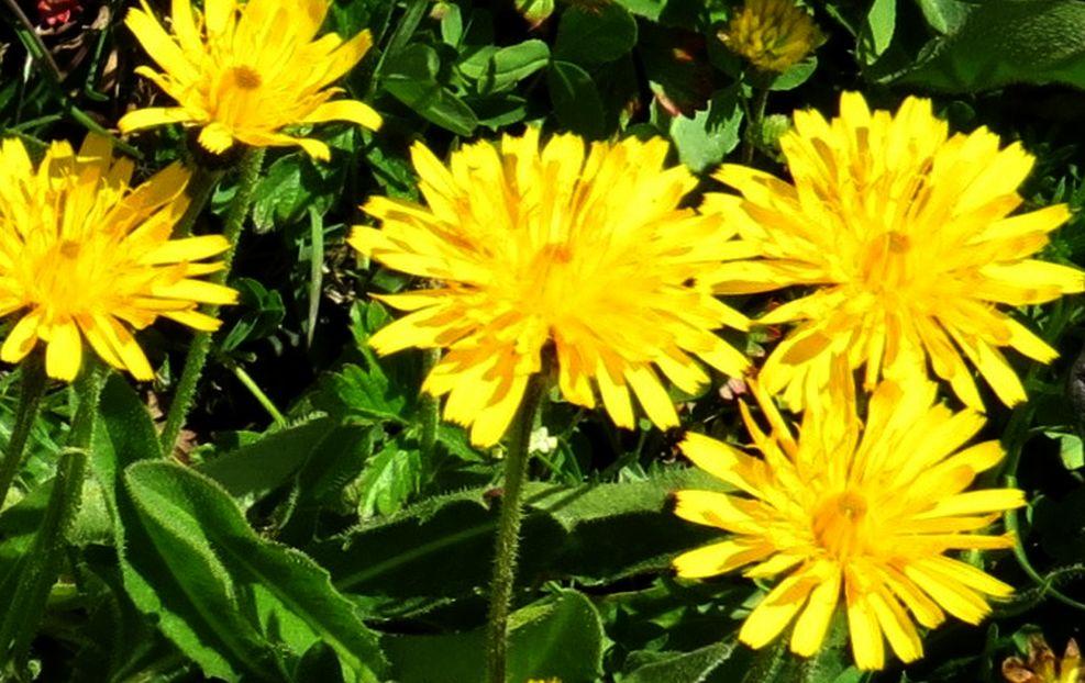 Asteraceae: Leontodon sp.
