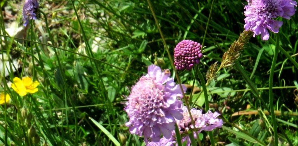 Caprifoliaceae: Scabiosa sp.  o Sixalis sp.