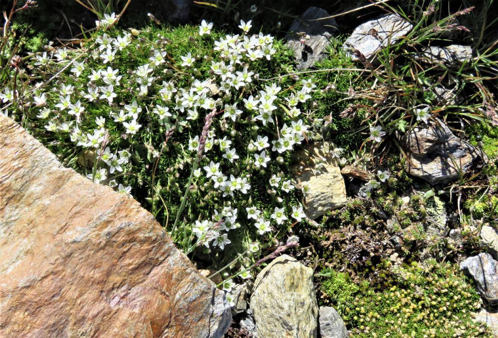 Caryophyllaceae:  Sabulina verna